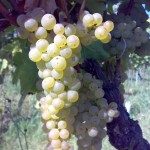 healthy grapes
