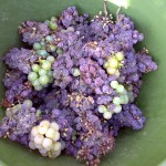 Botrytis Cinerea - noble rot