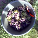 Gaisbhl Beerenauslese harvest