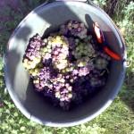 Gaisböhl Beerenauslese harvest